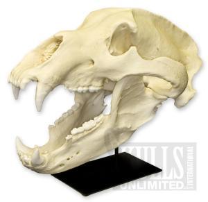 Cráneo de oso pardo